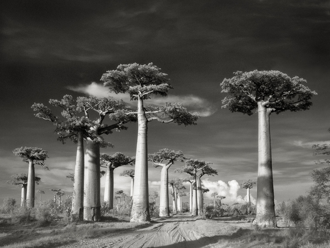 Avenue-of-the-Baobabs_02